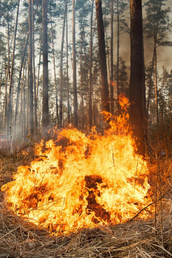 Big flame on forest fire. Big forest fire and clouds of dark smoke in pine stands. Flame is starting to damage the trunk. Whole area covered by flame royalty free stock photography