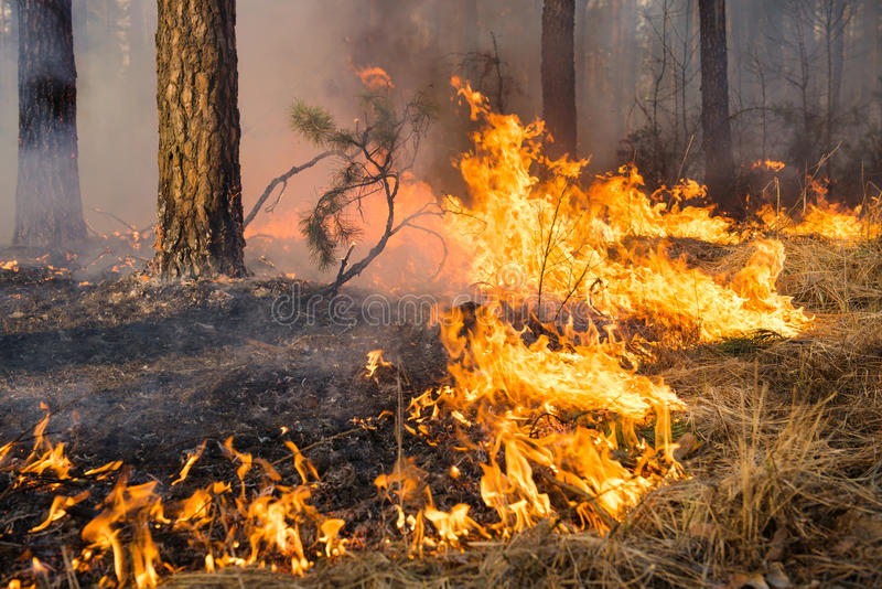 Big flame on forest fire. Big forest fire and clouds of dark smoke in pine stands. Flame is starting to damage the trunk. Whole area covered by flame stock photo