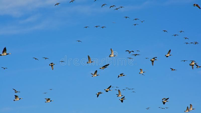 Big flock of geese in flight on a clear blue sky - Branta canadensis. Big flock of canada geese, flying in different directions on a clear blue sky, view from stock image
