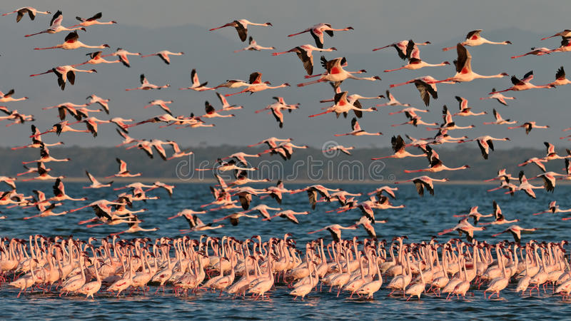 Download Big Flock Pink Flamingos Flies Over The Lake Stock Photo - Image: 15610236