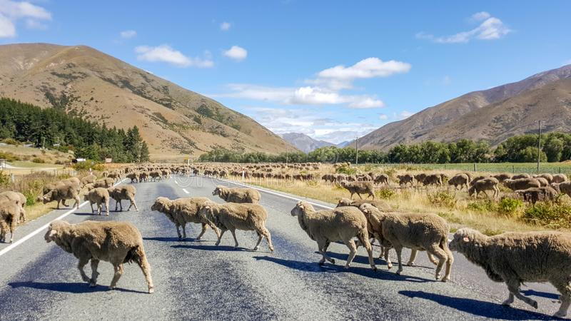 Sheeps crossing road in New Zealand highway royalty free stock images