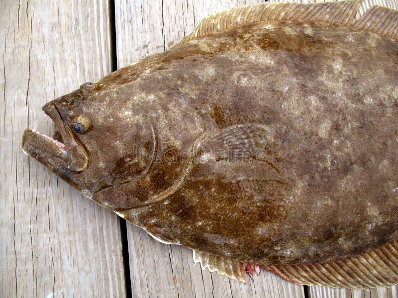 Big Flounder stock images