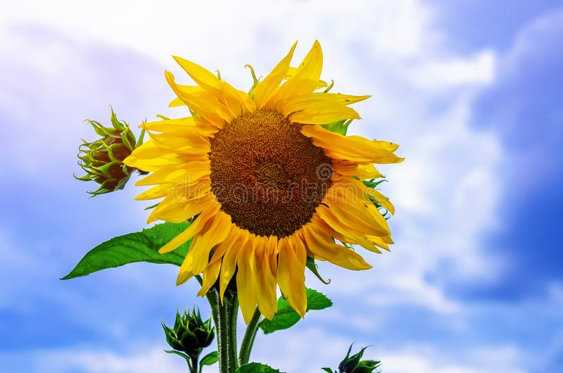 Big flower of sunflower on the field against the blue sky, cloud royalty free stock photo