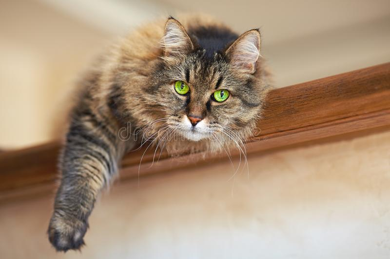 Big and fluffy adult brown tabby he-cat with green eyes lies on wooden shelf, leaning one paw down. Blurred background, indoors, selective , close up, copy royalty free stock image