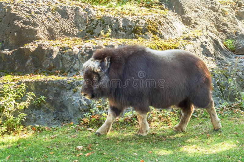 Big fluffy bison in Moscow zoo on the fall.  stock photo