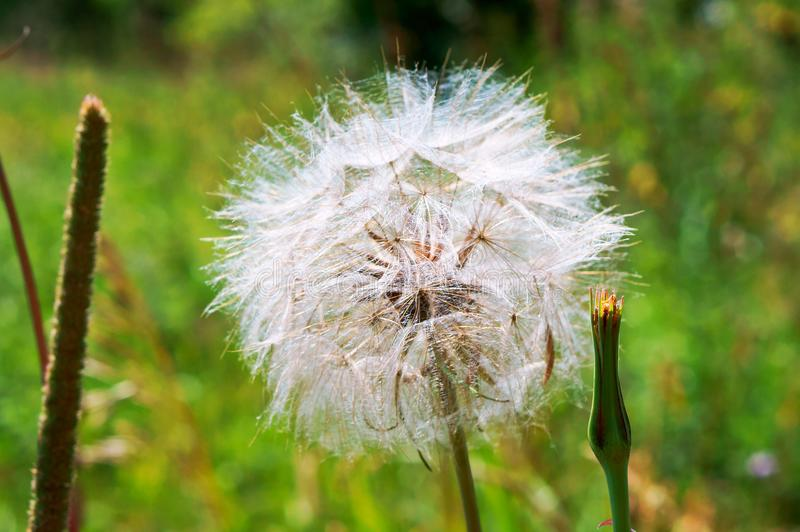 The flower of salsify, Tragopogon, big fluffy dandelion. Big fluffy dandelion, the flower of salsify, Tragopogon royalty free stock image