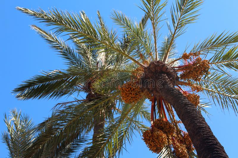 Fluffy Palm Tree with Orange Berries stock photos