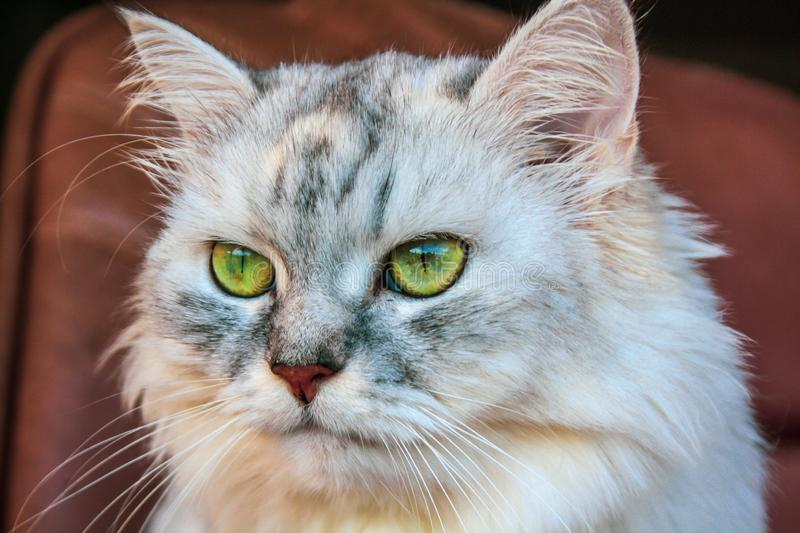 Big fluffy Siberian cat with bright green eyes stock photos