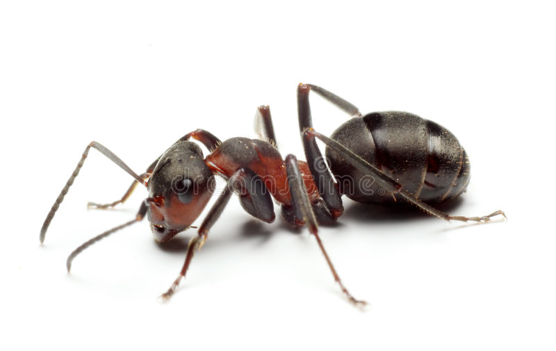 Big Forest Ant stock photography