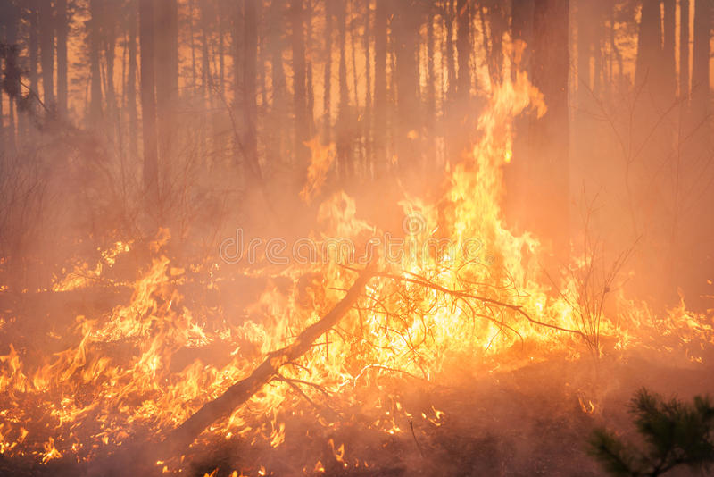 Big forest fire in pine stand. Big forest fire and clouds of dark smoke in pine stands. Flame is starting to damage the trunk. Whole area covered by flame royalty free stock photo
