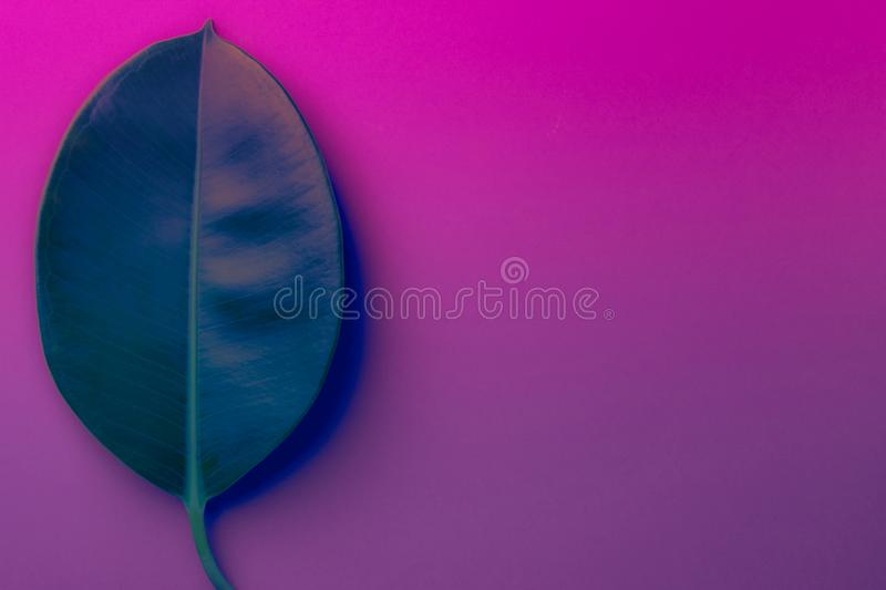 Big fresh ficus leaf on duotone purple violet blue background. Trendy neon colors. Toned. Minimalist style stock photos