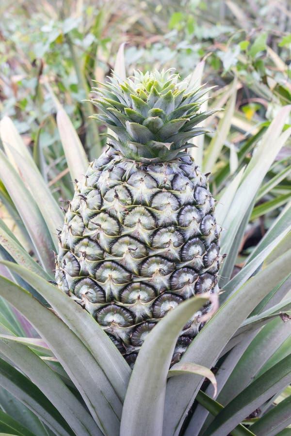 Big fresh pineapple on tree in green garden tropical farm view b stock photography