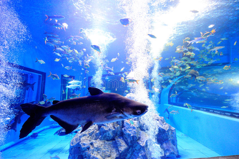 Big fresh water fish in tropical tank stock photography