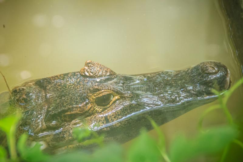 Big and frightening eye of a Caiman (Caimaninae) crocodile staying in still water stock photo
