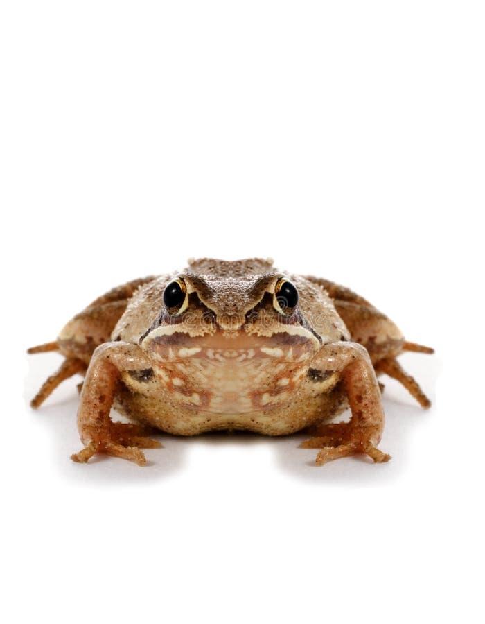 Big frog stock photo
