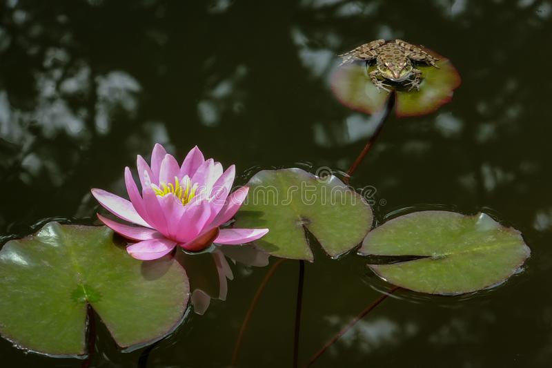 Big frog Rana ridibunda sits on the leaf and looks to pink water lilie or lotus flowers Marliacea Rosea royalty free stock image
