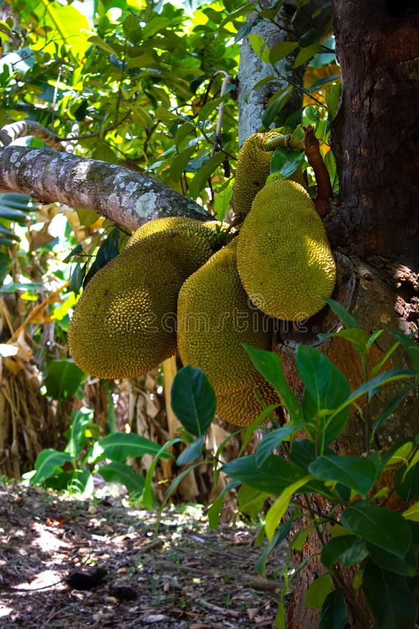 3 big fruits of the Jackfruit tree (Artocarpus heterophyllus) stock photos