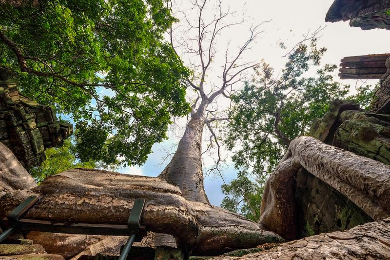 Big Full Banyan tree root covering stone prasat Ta Prohm in Angkor thom royalty free stock image