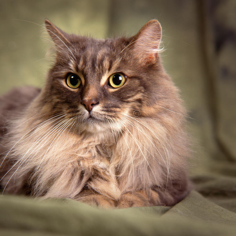 Big furry gray cat. Headshot of a big furry gray cat with big greenish gold wide open eye lying on a green backdrop stock photo
