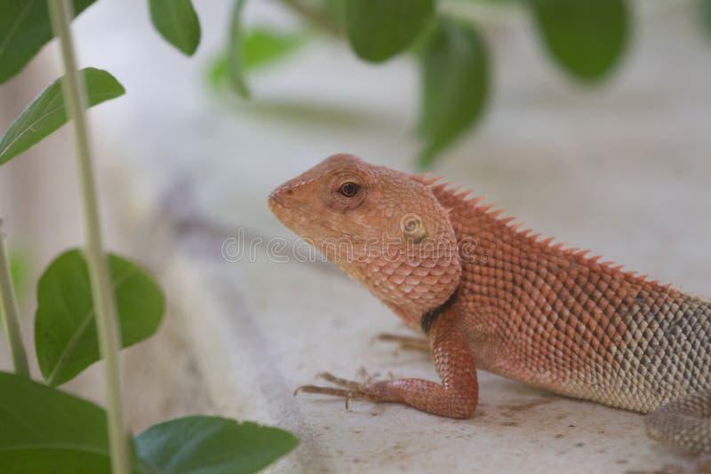 Big Garden Lizard. A big garden lizard in a beautiful green bokeh stock photos