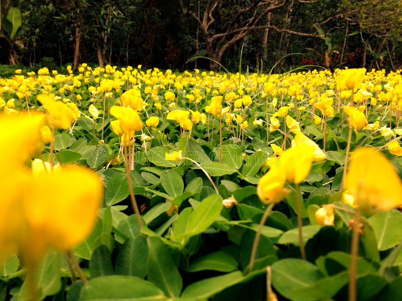 Big garden of small yellow flowers. Flower images in yellow colors, garden plants blooming in golden tones, perennials, annuals, shrubs, trees, bulbs, orchids stock photography