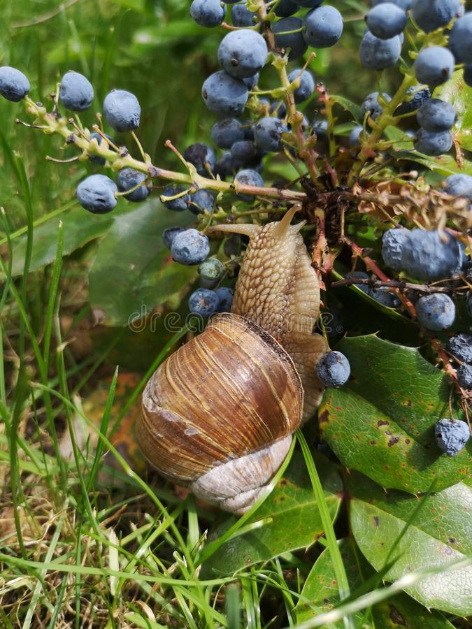 Big garden snail eat in garden. Helix pomatia. Big garden snail eat a leaf. Snail - a slow animal that is covered by a shell.  Helix pomatia royalty free stock photography