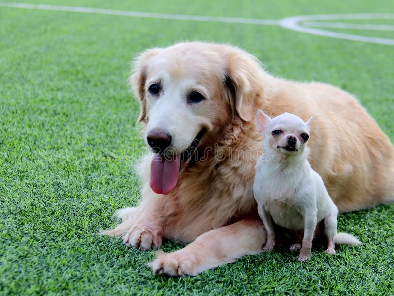 Big Golden retriever dog and small white Chihuahua sit close together on the green grass. stock photography