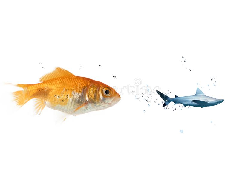 Big goldfish attacks a scared shark in the ocean. concept of bravery. Big goldfish attacks a scared shark in the deep ocean. concept of bravery royalty free stock image