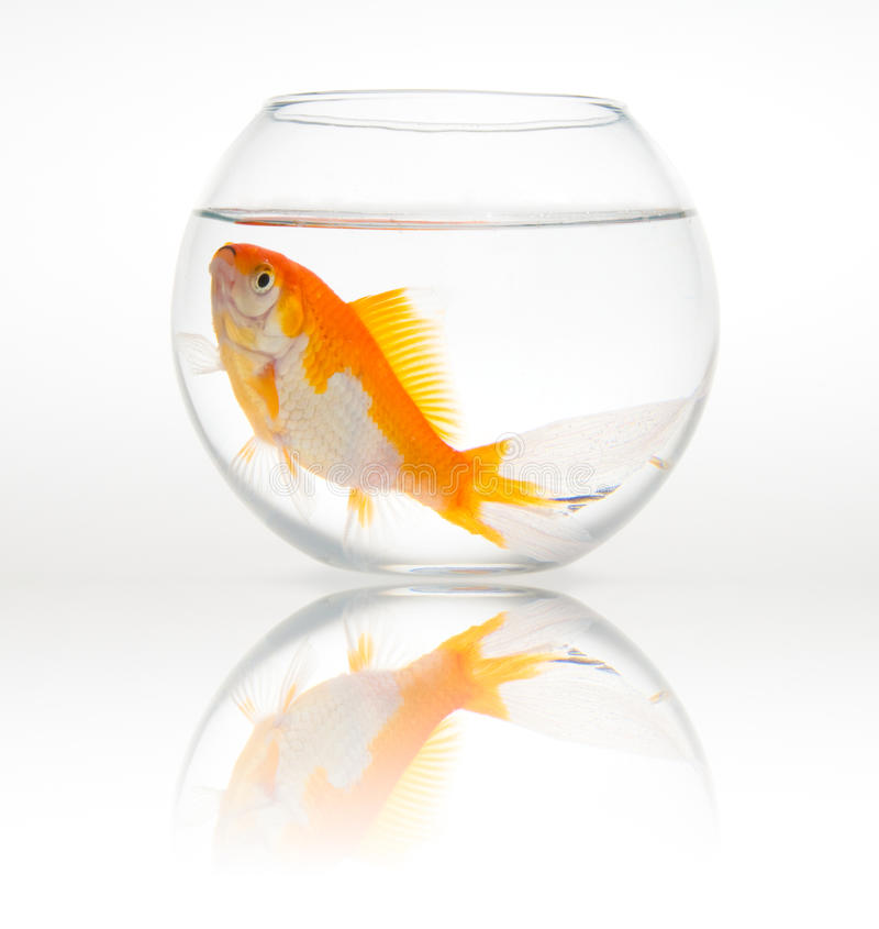 Big goldfish in a small bowl stock photos
