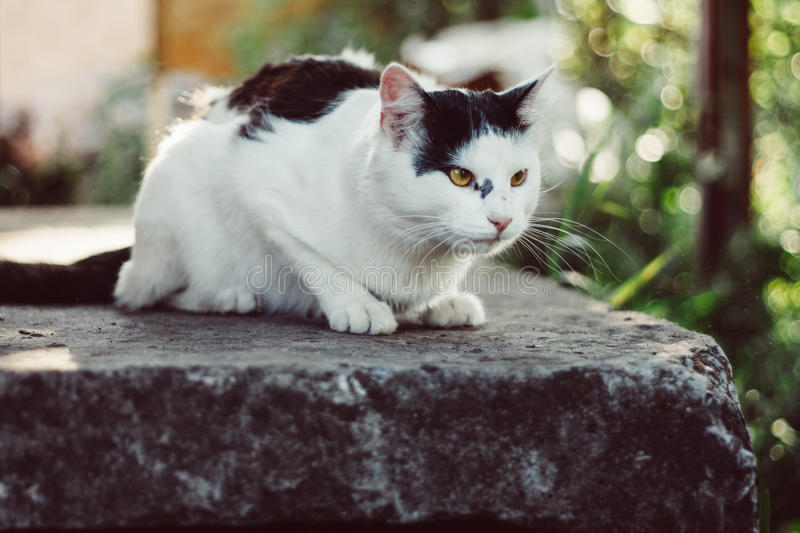A big gorgeous black and white cat. A big gorgeous black and white cat in the garden stock photos