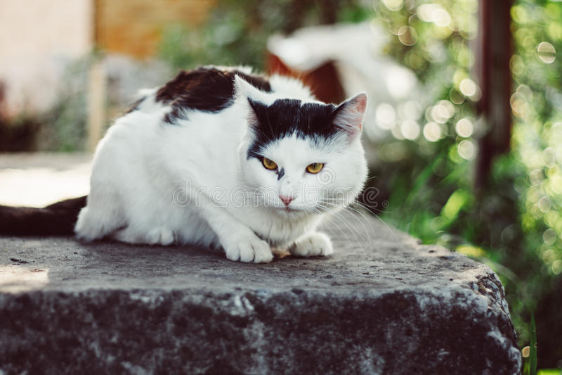 A big gorgeous black and white cat. A big gorgeous black and white cat in the garden royalty free stock photography