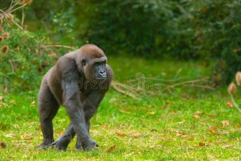 Big gorilla stock photos
