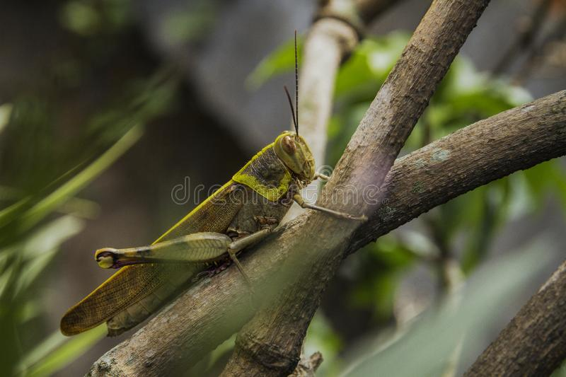 A big grasshopper camouflage on the plant branches royalty free stock photography