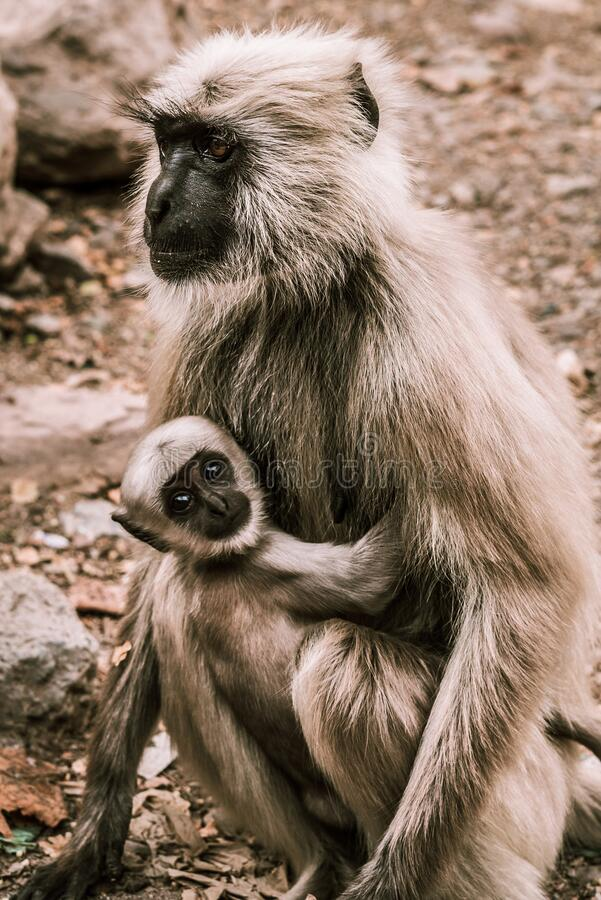 Big gray monkey holds his little baby in the park 1 stock photos