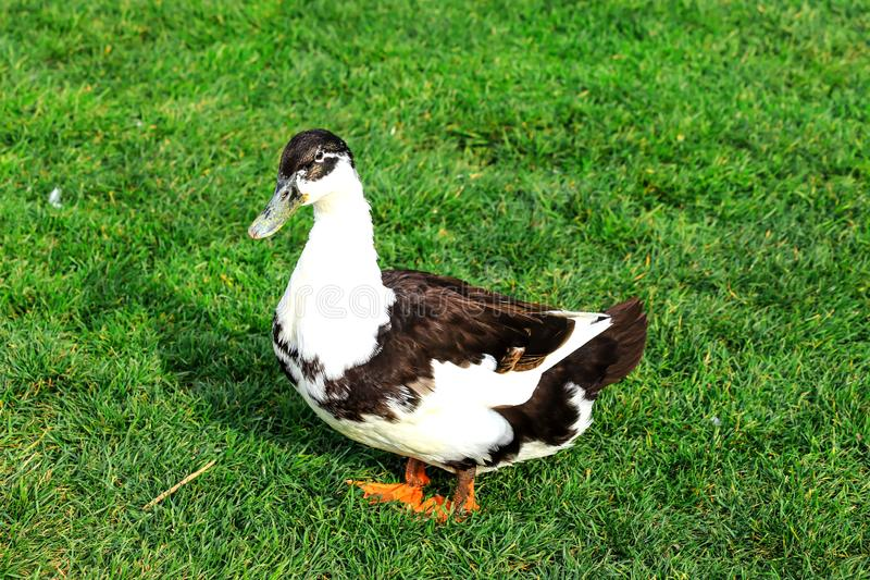 A big gray and white duck, stands on a green lawn. Poultry on a farm in the village, birds royalty free stock photo