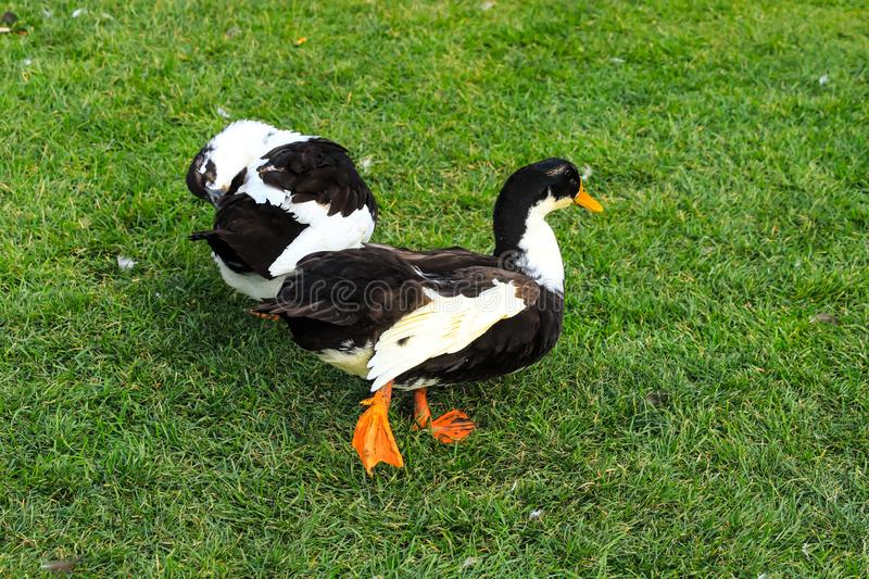 A big gray and white duck, walking on a green lawn. Poultry on a farm in the village. royalty free stock photo