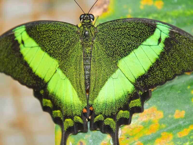 Big green butterfly Emerald Swallowtail, close up photo to wings stock photography