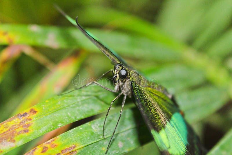 Big green butterfly Emerald Swallowtail, photo to eyes, Papilio. Palinurus royalty free stock photo