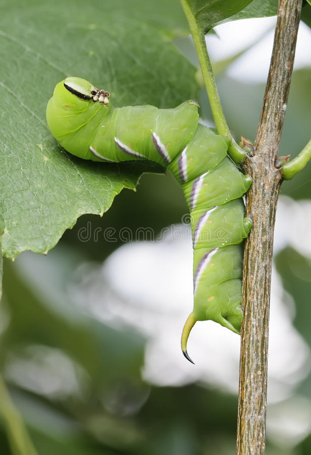 Big green caterpillar stock images