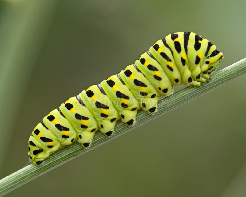 Download The big green caterpillar stock photo. Image of head - 21839898