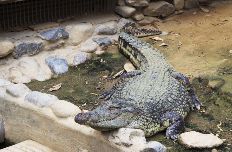 Big crocodile close-up. The Big green crocodile looking away close up, front view royalty free stock image