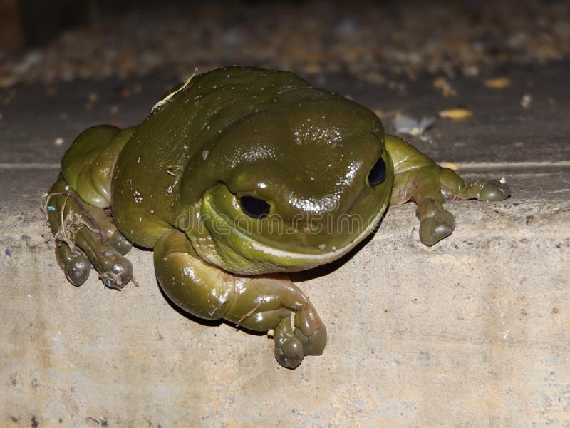 BIg green frog of the night stock photos