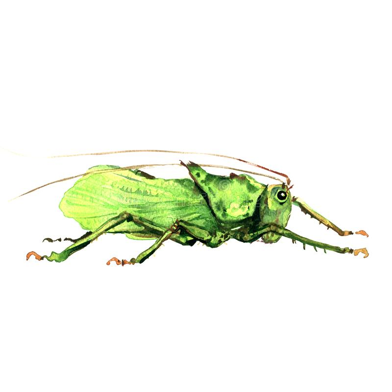 Big green grasshopper isolated, watercolor illustration on white vector illustration