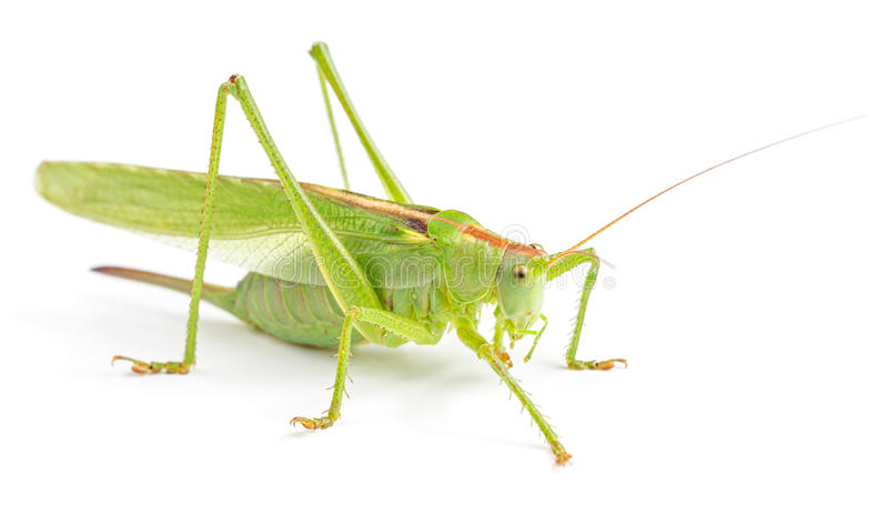 Big green grasshopper isolated. On white background stock image