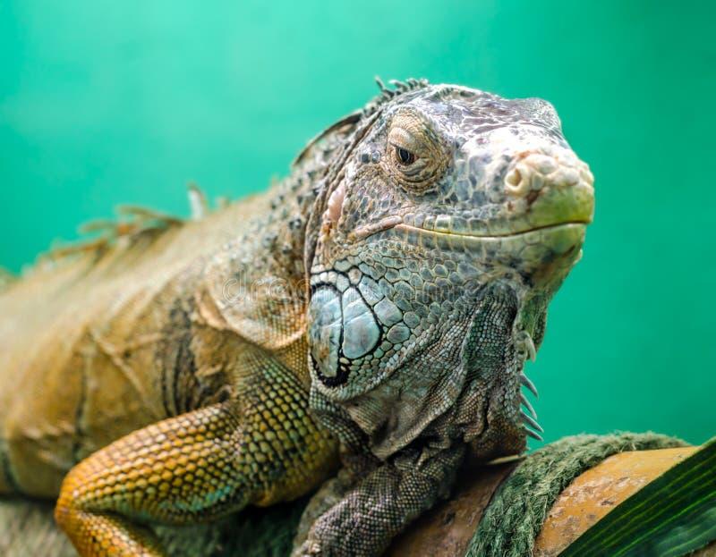 Big green iguana close up. Big iguana on a green background close up stock photos