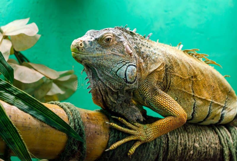 Big green iguana close up. Big iguana on a green background close up stock photo