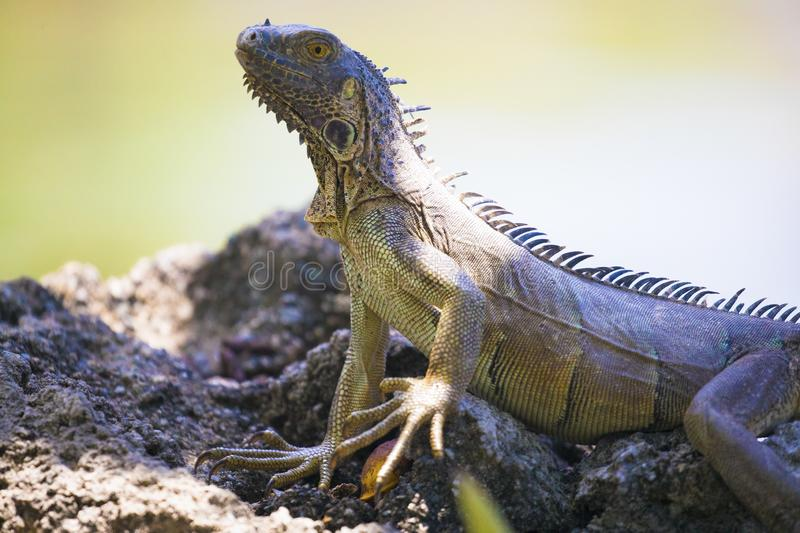 Big green Iguana standing on lava rocks in Grand Cayman Islands royalty free stock photos