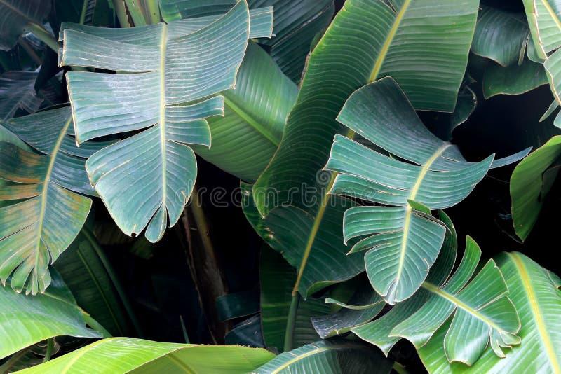 Big green leaves on banana tree. Big green leaf on banana tree stock photography