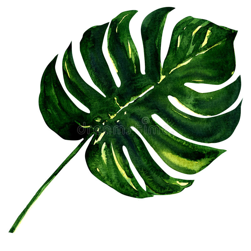 Big green leaf of Monstera plant, isolated on stock illustration