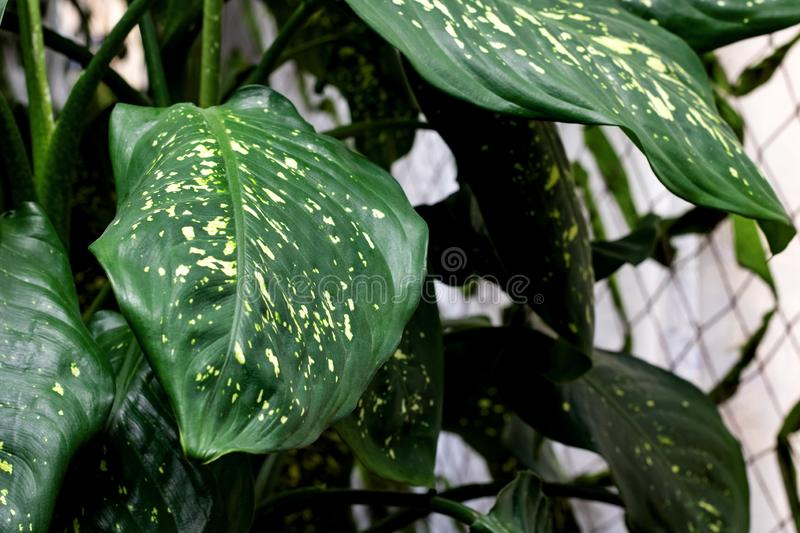The Big green leaf of wild plant royalty free stock images